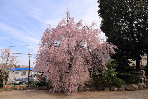 140329_しだれ桜