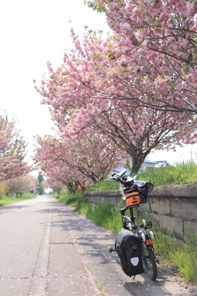 IMG_2278現像_つくばりんりんロード八重桜オリバイク現像