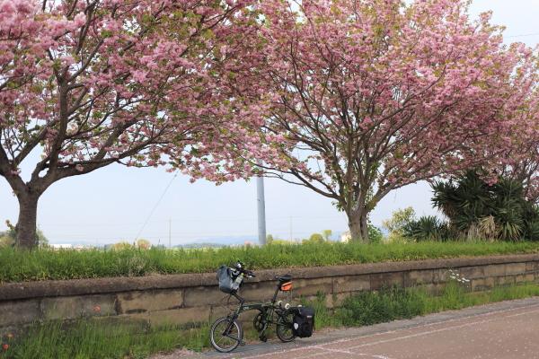 IMG_2282現像_つくばりんりんロード八重桜満開現像