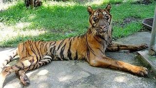 スラバヤ虎