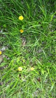 まだ草むしり好きの情緒がない人間に知られていない近所の秘密のスポットで咲く黄色いタンポポ
