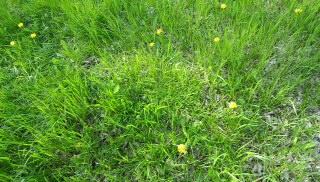 まだ草むしり好きの情緒がない人間に知られていない近所の秘密のスポットで咲く黄色いタンポポ2
