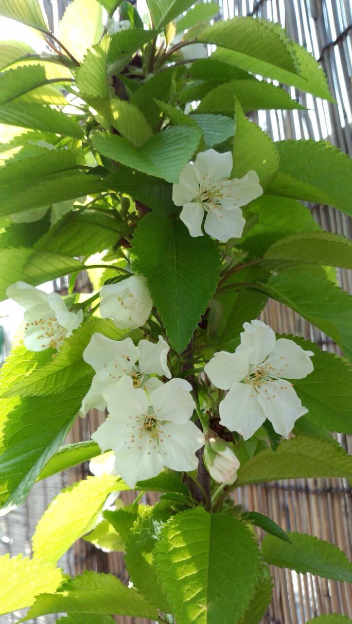 ミーママ家の屋上の桜1