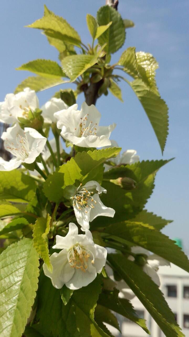 ミーママ家の屋上の桜3