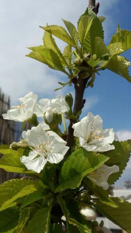 ミーママ家の屋上の桜6