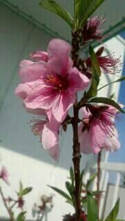 ミーママ家の屋上の桃の花1