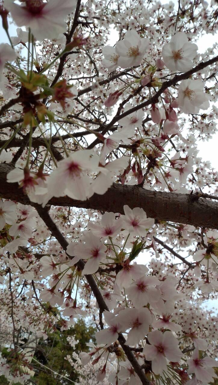 実家近くの桜7