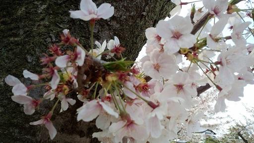 実家近くの桜9