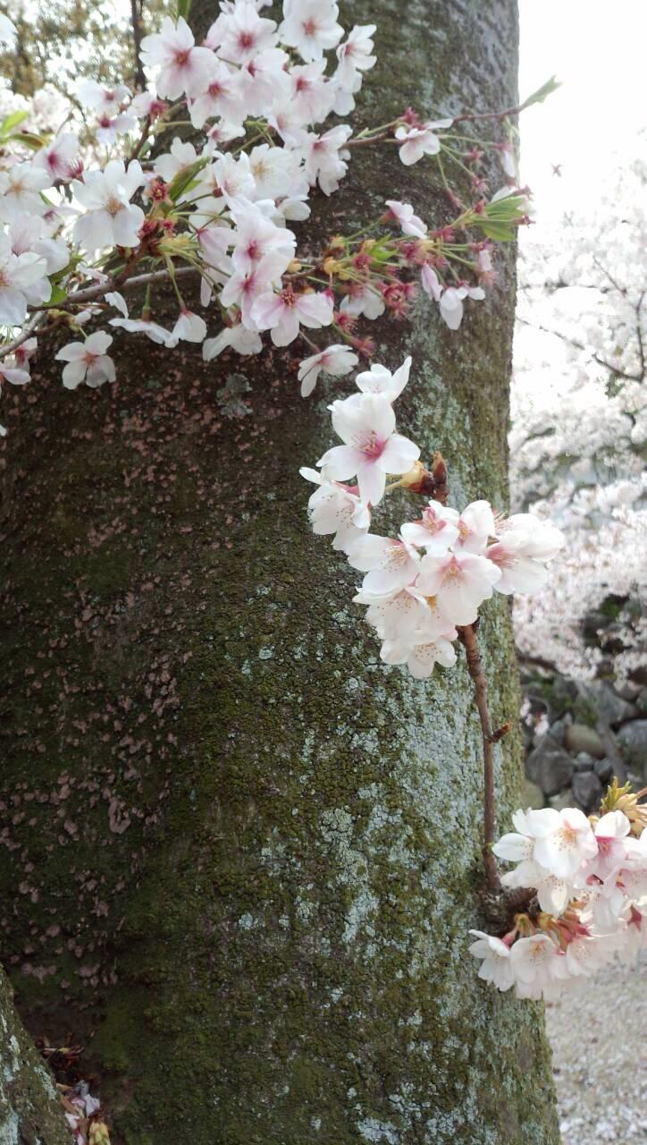 実家近くの桜11