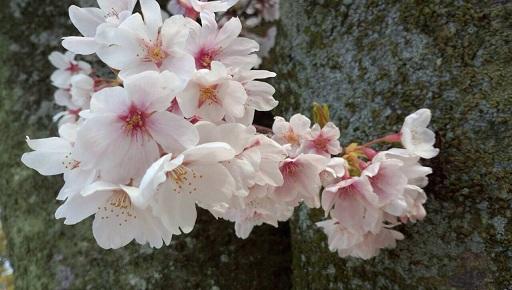 実家近くの桜13