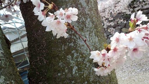 実家近くの桜16
