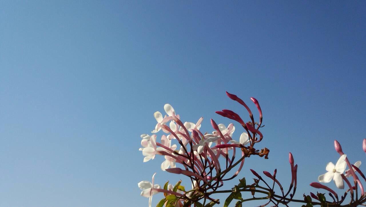 水色の空を見上げるジャスミンの花1