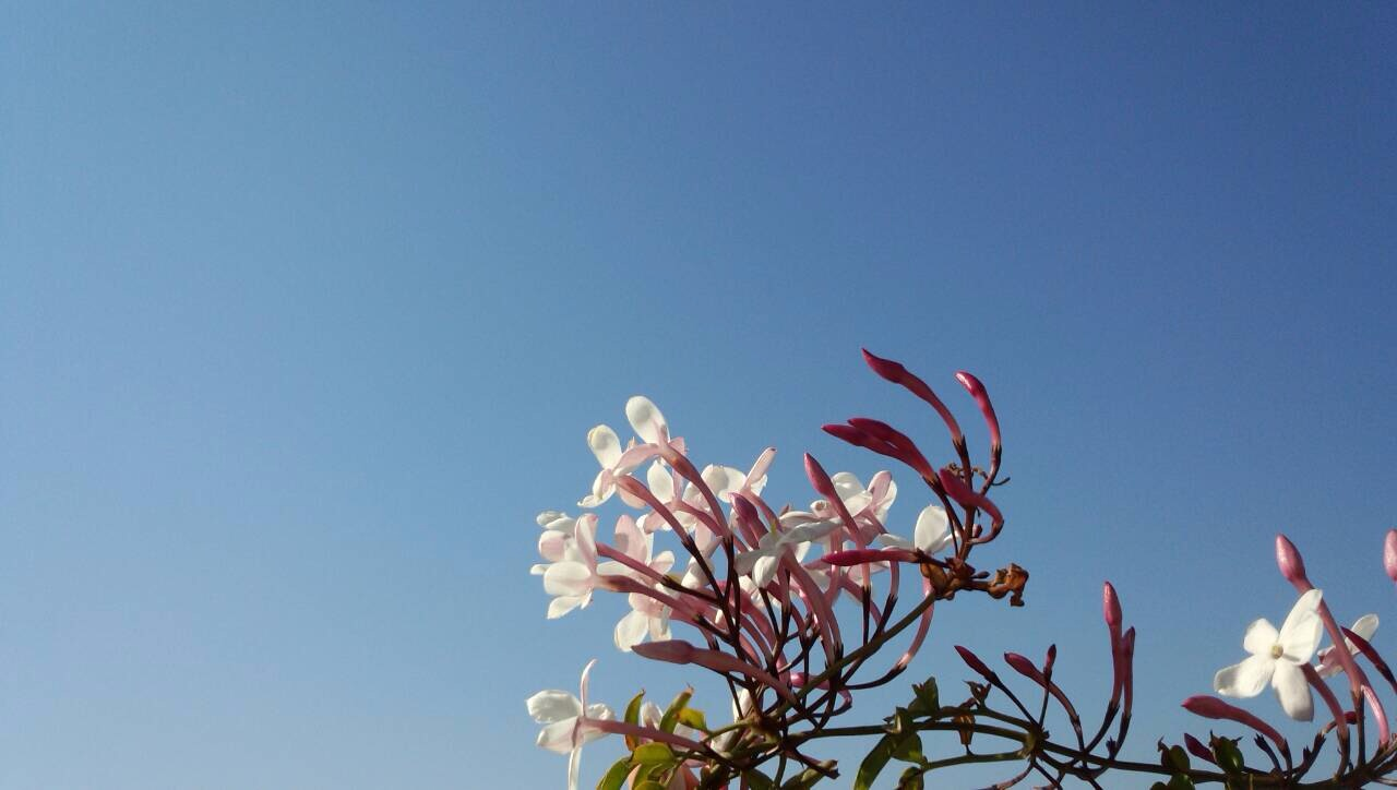 水色の空を見上げるジャスミンの花2