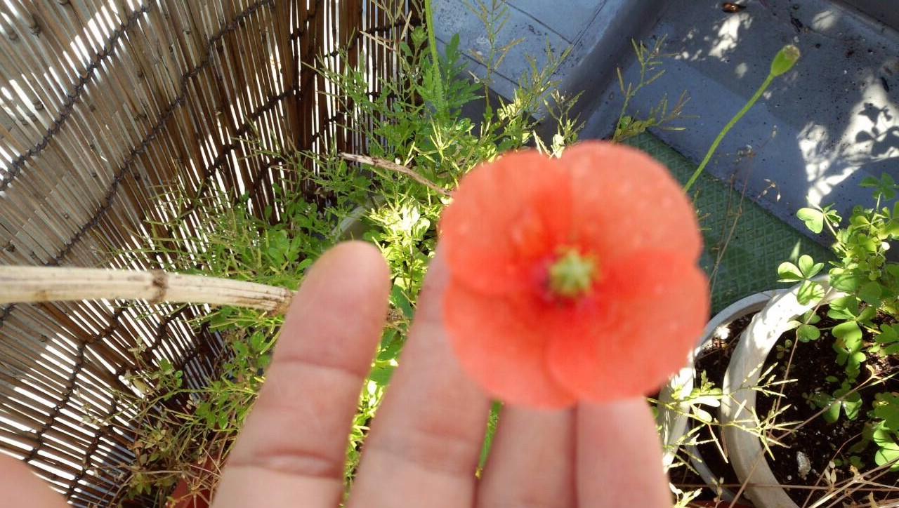 ミーママ家の屋上のオレンジの花