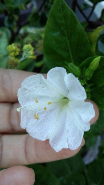 おしろい花1