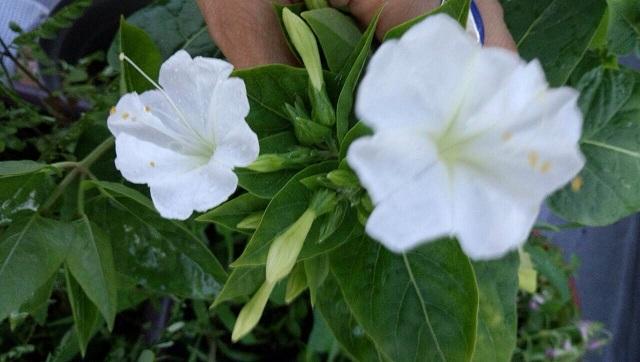 おしろい花2