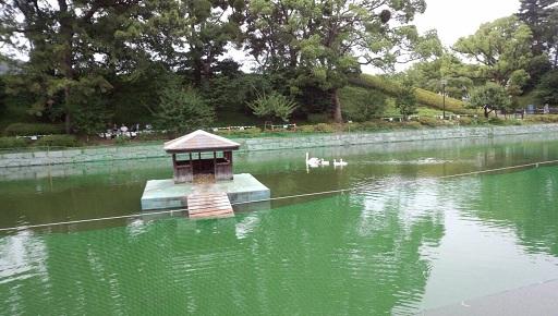 松山城のお堀の白鳥家族アヒル二羽は死んでしまい兄弟は三羽1