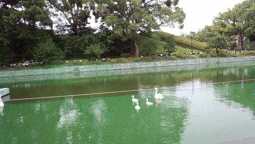 松山城のお堀の白鳥家族アヒル二羽は死んでしまい兄弟は三羽2