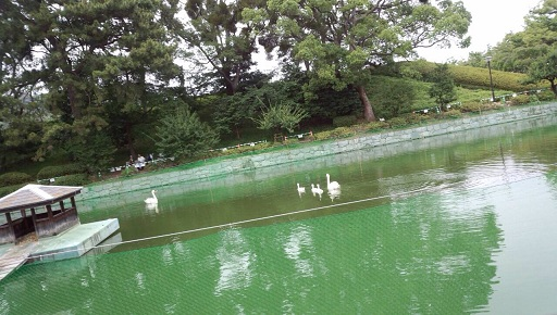 松山城のお堀の白鳥家族アヒル二羽は死んでしまい兄弟は三羽4