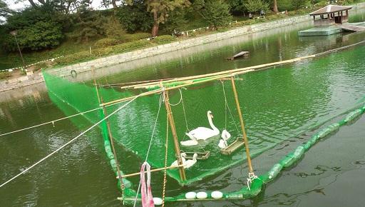 松山城のお堀の白鳥家族アヒル二羽は死んでしまい兄弟は三羽6