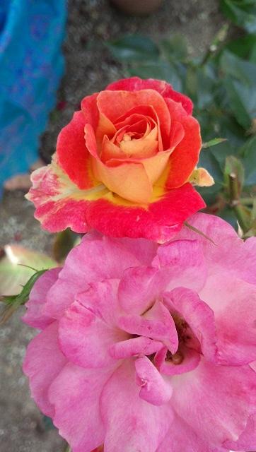 変わり咲きの黄色→オレンジのバラ