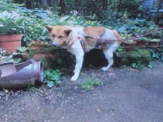 山口県ワイヤー犬4