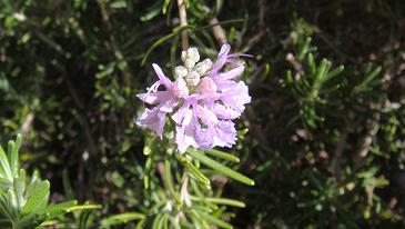 ローズマリー花