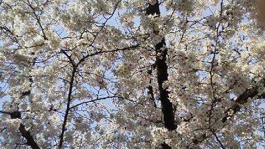 泉さんちの桜