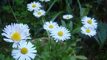 ありがとう野の花
