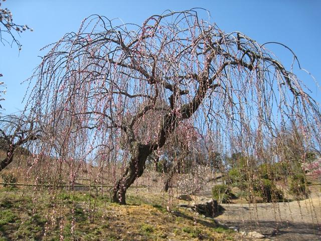 香川県園芸総合センターの梅