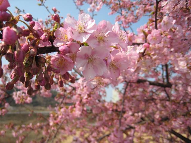 湊川河畔の河津桜