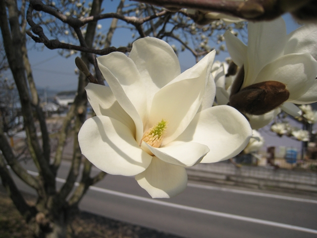 長尾総合公園のハクモクレン