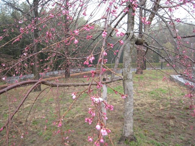 さぬき空港公園のしだれ桜