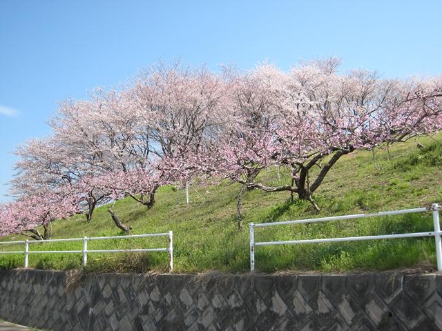 飯山の桃花