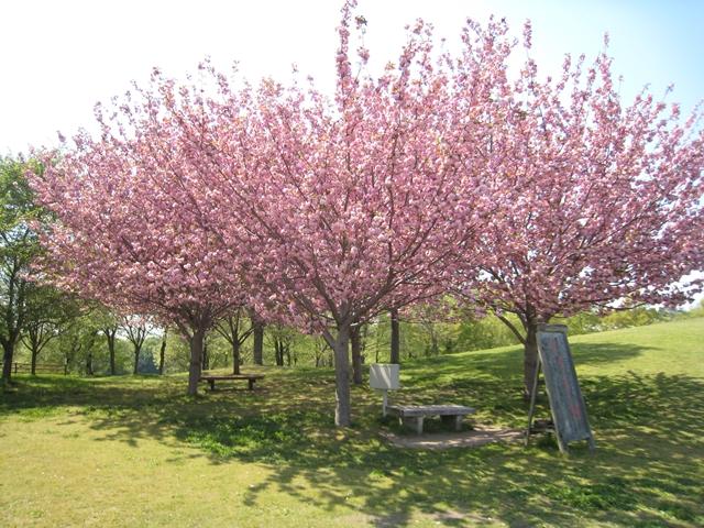 国営讃岐まんのう公園の牡丹桜