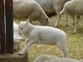 lamb01.jpg