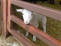 lamb02.jpg