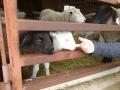 lamb03.jpg