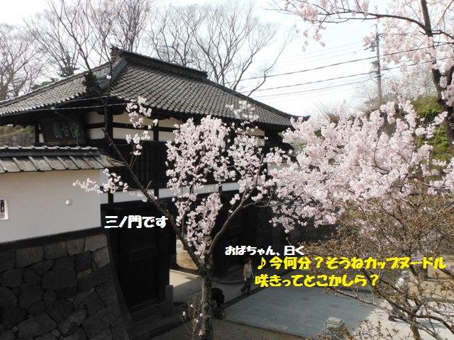 懐古園の桜2014 (3)