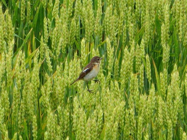 小麦とノビタキ