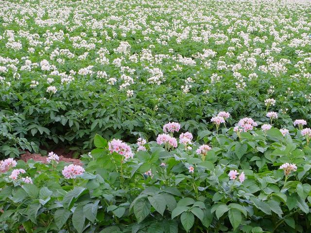 ジャガイモの花 (2)
