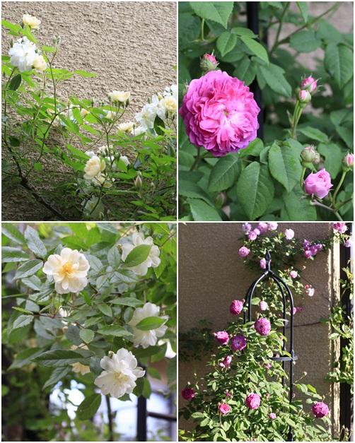 rosea5.jpg