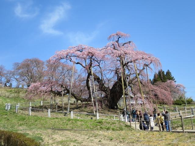 IMG_6370滝桜 (640x480)