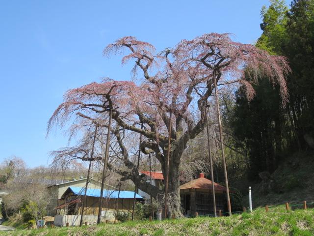 IMG_6380地<br />蔵桜