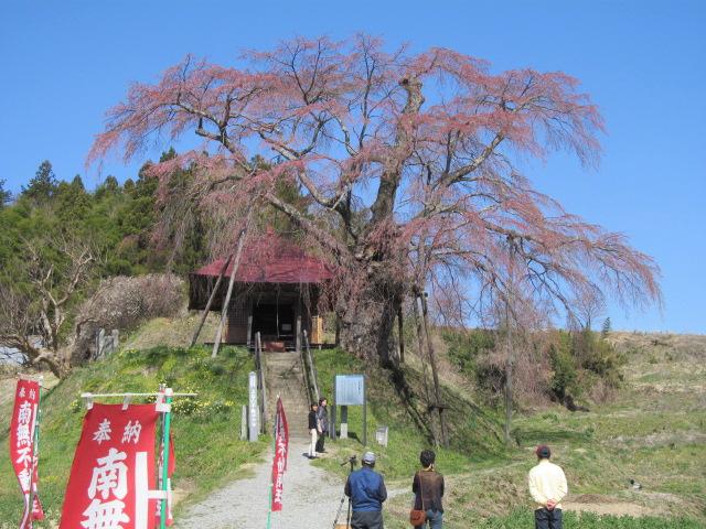 IMG_4570不動桜