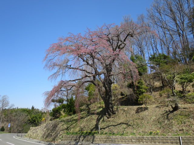 IMG_6378伊勢桜