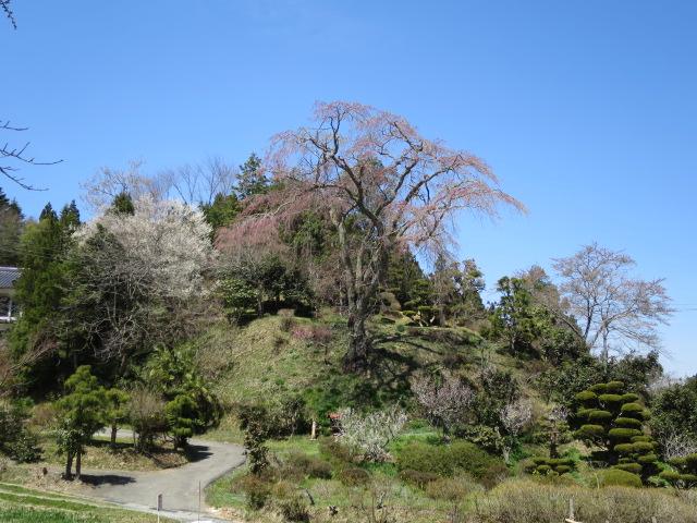 IMG_6388忠七桜