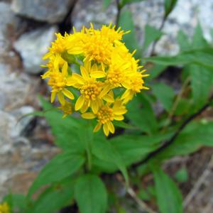 2014,8北アルプスの花-25