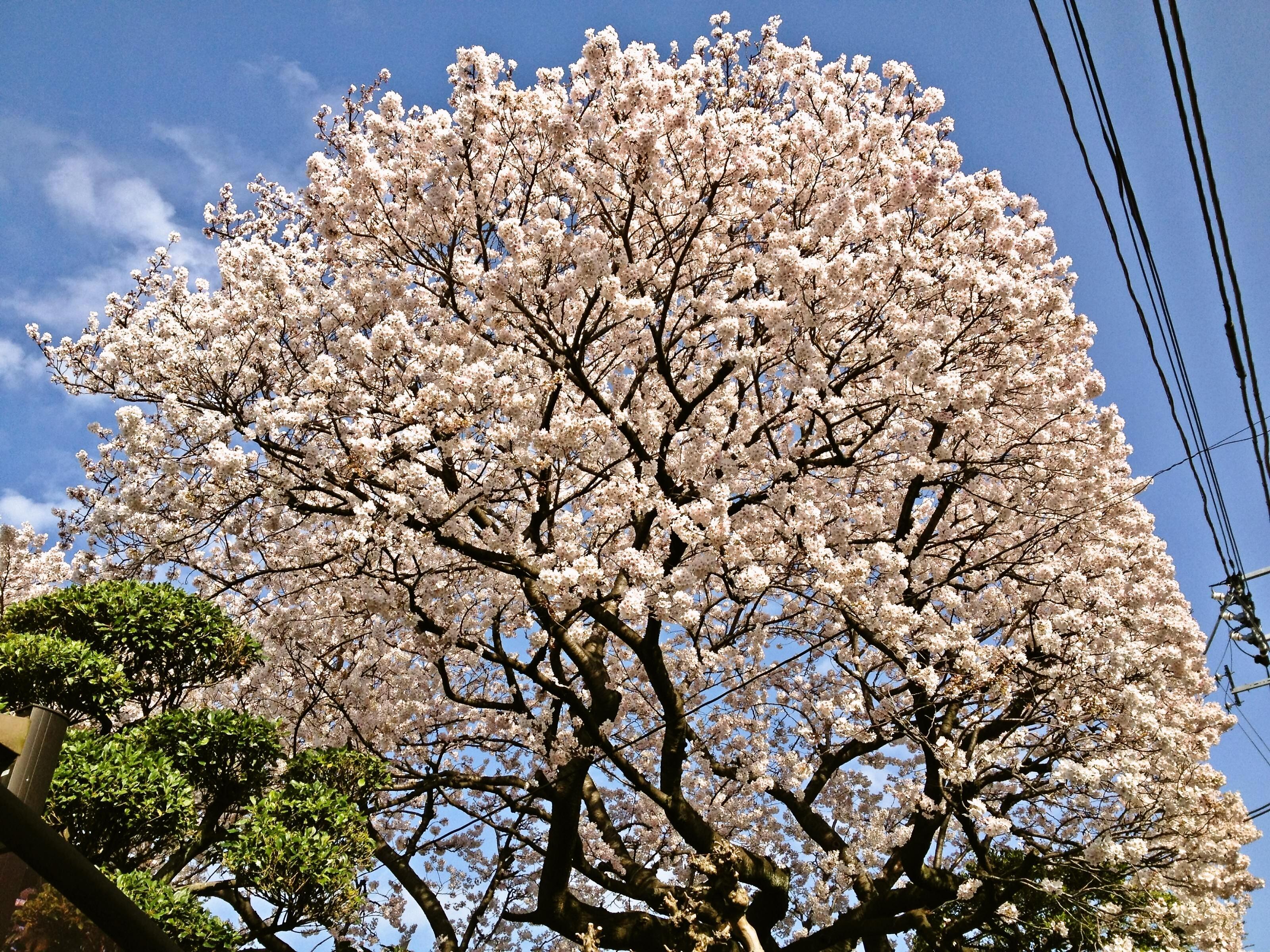 カナモリさんちの桜