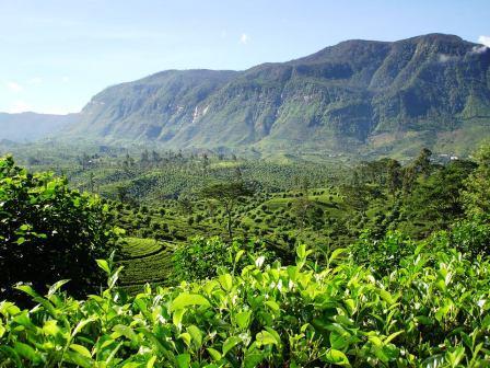 スリランカ茶葉園